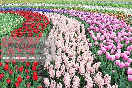 Tulips and Hyacinths, Keukenof Gardens, Netherlands