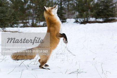 Red Fox Standing On Hind Legs Minnesota Usa Stock Photo