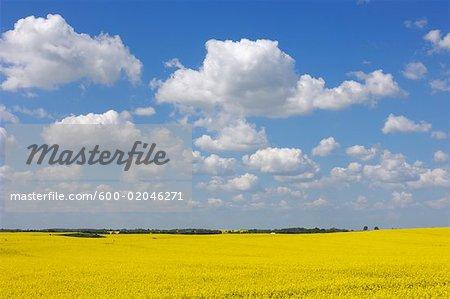 Canola Field at Springtime, Mecklenburg-Vorpommern, Germany