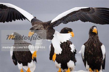 Steller's Sea Eagles, Nemuro Channel, Shiretoko Peninsula, Hokkaido, Japan
