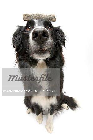 Portrait of Dog With Treat Balanced on Head