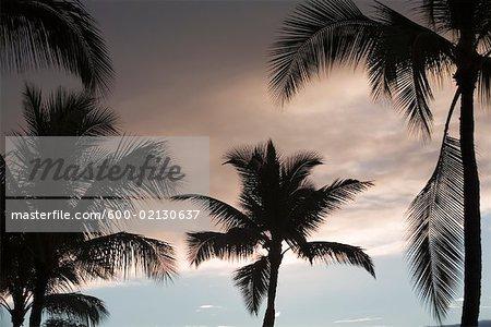 Silhouetted Palm Trees, Maui, Hawaii, USA
