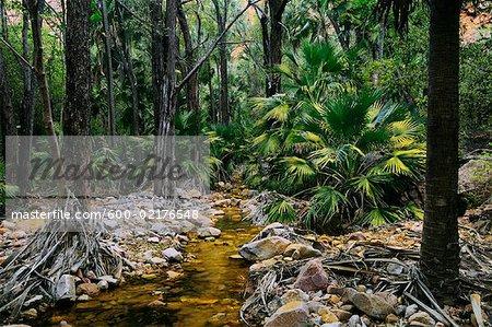 Livistona Palms, El Questro Gorge, Kimberley, Western Australia, Australia