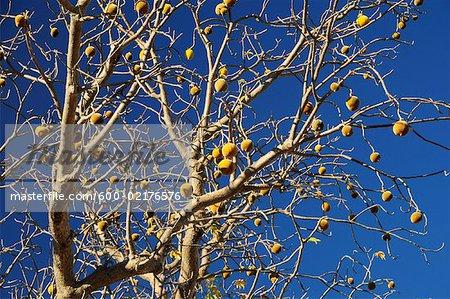 Boab Tree with Fruit, Kimberley, Western Australia, Australia