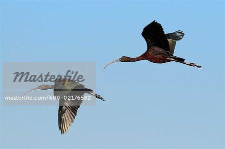 Ibises in Flight, Parry Lagoons, Wyndham, Kimberley, Western Australia, Australia