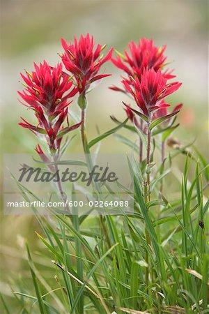 Indian Paintbrush Flower