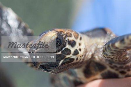 Close-up of Turtle, The Turtle Hospital, Marathon Dolphin Sanctuary, Marathon, Florida Keys, Florida, USA