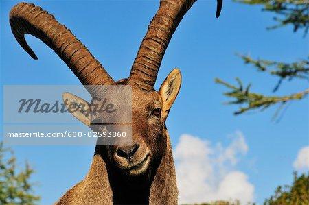 Alpine Ibex, Aiguilles Rouges, Chamonix, France