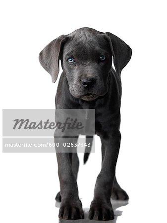 Portrait Of Cane Corso Puppy Stock Photo Masterfile Premium