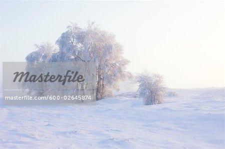 Snow Covered Trees, Haute Fagnes, Wallonia, Belgium