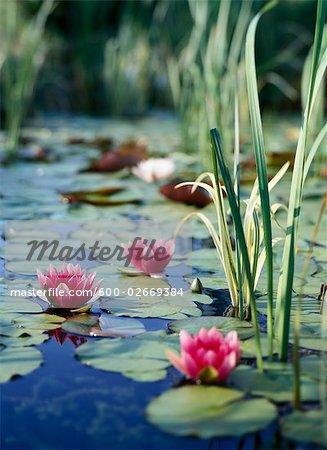 Lily Pads And Lotus Flowers Stock Photo Masterfile Premium
