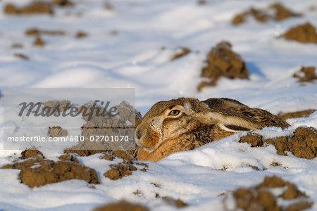 European Hare in Snow