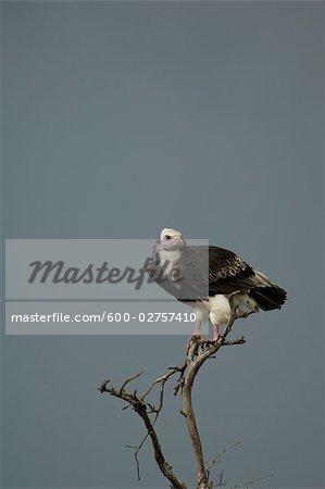 Vulture Perched On Dead Branch, Masai Mara, Kenya