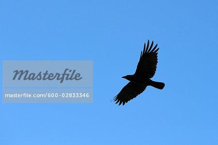 Crow, Hesse, Germany