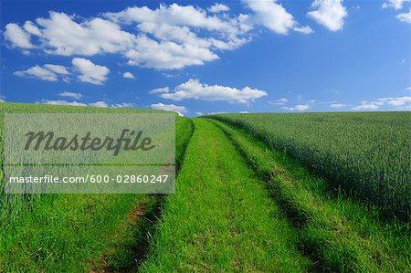 Pathway through Cornfield