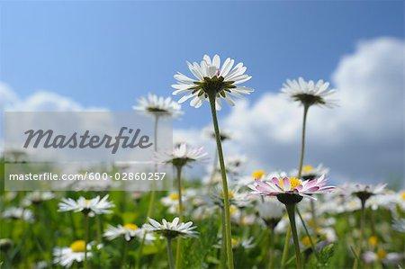 Close-up of Wild Daisies