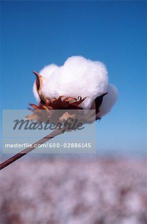 Cotton Crop, Cotton Bloom