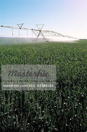 Spray Irrigation, Wheat Crop