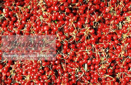 Cherries in Field Bin