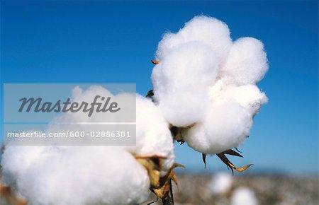 Close-up of Cotton Plant, Australia