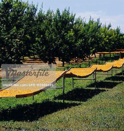 Apricots on Drying Racks