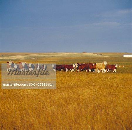 Beef Cattle Grazing, Australia