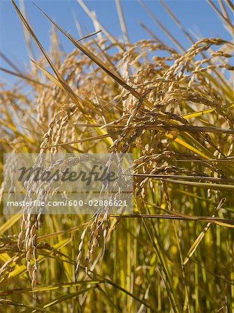 Rice Crop Ready for Harvest, Australia