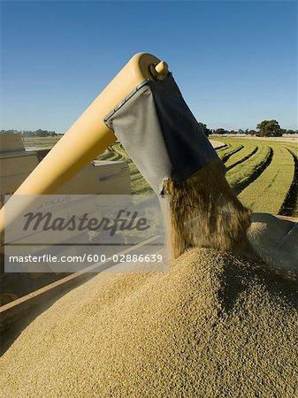 Rice Harvesting, Unloading Grain into Trailer, Australia