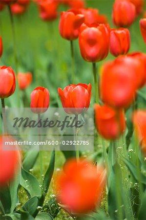 Field of Oranjezon Tulips