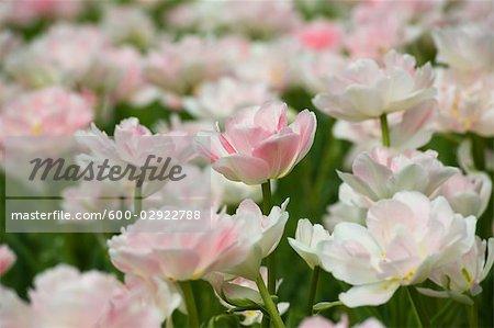Field of Maywonder Tulips