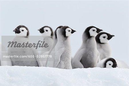 Emperor Penguin Chicks, Snow Hill Island, Weddell Sea, Antarctica
