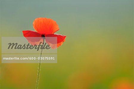 Poppy, Castiglione d'Orcia, Siena Province, Val d'Orcia, Tuscany, Italy