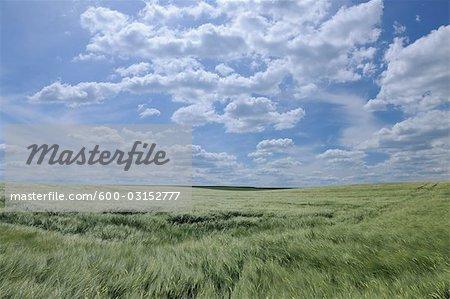 Barley Field, Alzey, Alzey-Worms, Rhineland-Palatinate, Germany