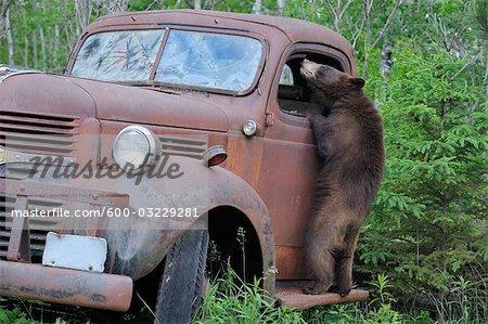 Black Bear Looking in Old Truck, Minnesota, USA