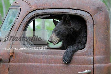 Black Bear in Old Truck, Minnesota, USA