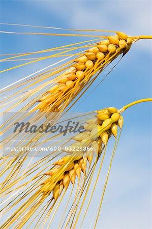 Close-up of Barley, North Rhine-Westphalia, Germany