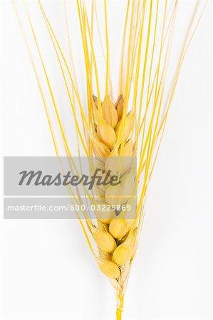Close-up of Barley