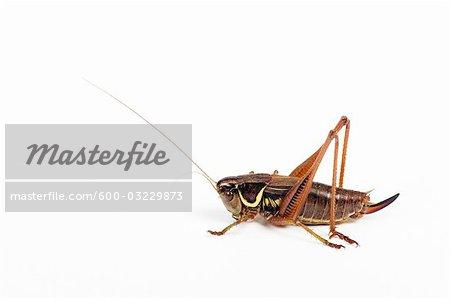 Female Wart-Biter Cricket