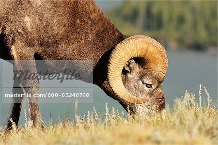 Bighorn Sheep Eating, Jasper National Park, Alberta, Canada