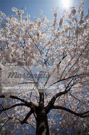 Cherry Blossoms, Coal Harbour, Vancouver, British Columbia, Canada