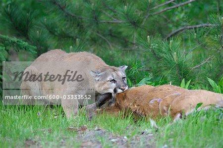 Mountain Lion with Prey, Minnesota, USA