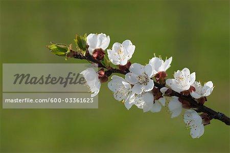 Cherry Blossom, Lake Neusiedl, Breitenbrunn, Burgenland, Austria