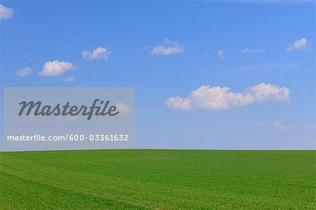 Corn Field in Spring, Halbturn, Burgenland, Austria