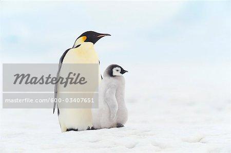 Portrait of Emperor Penguins, Snow Hill Island, Antarctica