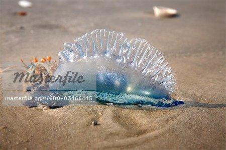 Jellyfish, Jamaica Beach, Galveston Island, Texas, USA