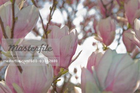 Magnolia Flowers, Salzburg, Austria