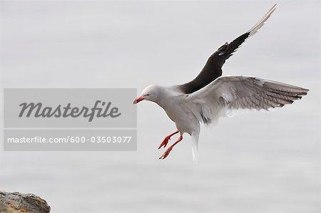 Dolphin Gull, Ushuaia, Tierra Del Fuego, Argentina