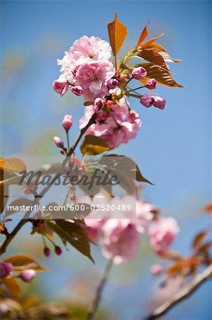 Cherry Blossom, Tokyo, Kanto Region, Honshu, Japan