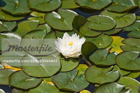 Water Lily in Garden, Schloss Schonbrunn, Vienna, Austria