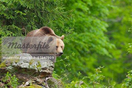Brown Bear, Bavarian Forest National Park. Bavaria, Germany